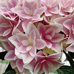 Hydrangea 'Double Delights Freedom' - Bigleaf Hydrangea