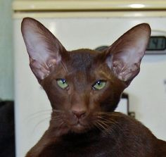 her face expression . Pretty Cats, Beautiful Cats, Kittens Cutest, Cats And Kittens, Oriental Cat Breeds, Oriental Shorthair Cats, Tonkinese Cat, Chocolate Cat, Sphynx