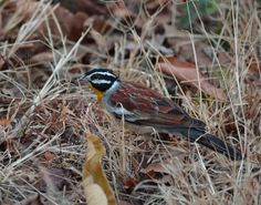 The golden-breasted bunting Photo by Birds Afrik -- National Geographic Your Shot