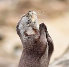 Imagem de animal, otter, and pray