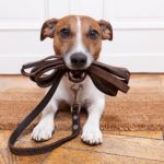 A training collar can become a very efficient tool to teach your dog the right behaviors. It is important to select the right kind of training collar for your dog and to learn how to properly use it. Training collars are usually designed to cause...
