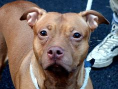 GONE - BE AT PEACE 12/31/13 Manhattan Center STUDDA A0987630 Spayed female brown and white pit mix 2YRS SEIZED 12/17/13  2yrs 50 lbs. While still shy when meeting strangers, she has become more social & friendly w/ those she trusts. Needs a slow, gentle touch. Petite & low key enough to fit any home- SUCH POTENTIAL! Owner said she was aggressive (abuse, neglected, trained, isolated?). Lets not allow Studda to be a victim of her owner's failings.