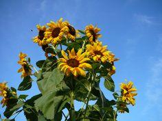 Prolific Sunflowers