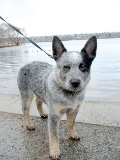 blue heeler when we got her she had pneumonia, we have the best veterinarian ever, he fell in love with her while she was in the hospital, now he is a lifelong friend.