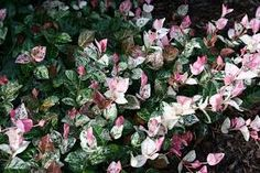 jasmine minima ground cover florida - Google Search