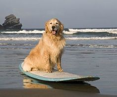 Let's surf!  . #pawsome_dogs88