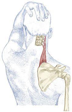 Elevador Extensión de Escápulas por Kristian Berg:: El Elevador de las escápulas son acortadas en una mala postura..Por mantener permanentemente levantando el hombro o la faja de hombro, Por sostener un teléfono entre la mejilla y el hombro y por estar sentando encorvado adelante de su ordenador.