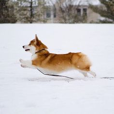 Snow day! #Drewbert #Snowbert #corgi
