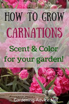 Helpful tips hat will make growing Carnations super easy! Carnation flowers add long lasting color and beautiful scent to your garden. Dianthus are also great as cut flowers!