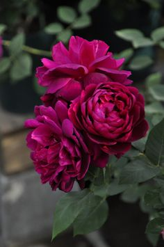 ~Rosa 'Under the Rose'