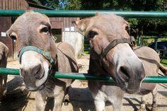 tamar-valley-donkey-park-donkeys