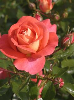Floribunda Rose: Rosa 'Sommersonne' AKA 'Summer Sun' (Germany, before 2008)