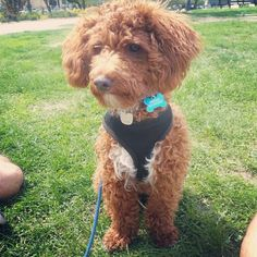 Photo by kidnappedcult   Leo's first days of Spring 2013. Leo is an apricot miniature poodle living and loving in Brooklyn, NY