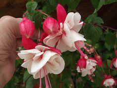 Rose, Flowers, Plants, Pink, Roses, Flora, Plant, Royal Icing Flowers, Flower