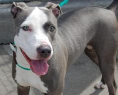 LOUIE is an adoptable Pit Bull Terrier Dog in Brooklyn, NY.  He's a happy, smiling, dog-wagging boy!