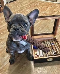 Cigars and puppies Cigars And Whiskey, Good Cigars, Pipes And Cigars, Cute Puppies, Cute Dogs, Cigar Shops, Cigar Art, Cigar Cases, Cigar Humidor