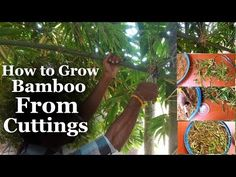 How to Grow Bamboo from Cuttings at Home Bamboo Plant Care, Bamboo Plants, Indoor Plants, Cuttings, Plant Propagation, Growing Bamboo, Lucky Bamboo, Garden Care, Garden Paths