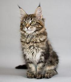 Raza: Maine Coon. El Maine Coon es, sobre todo un gato enorme, actualmente es una de las razas más populares, gracias a su aspecto salvaje y gran tamaño. Los gatos machos pueden llegar a pesar 7-10 Kg. y unos 5-7 Kg. las hembras aproximadamente. Pero conviene no dejar de lado su morfología: la forma de la cabeza, su cuerpo, su típico pelaje. Y, por supuesto su comportamiento tan particular.