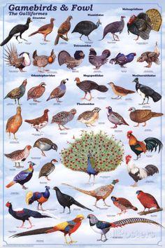 Laminated Gamebirds & Land Fowl Identification Poster Chart by Feenixx Posters This is an order / clade of heavy-bodied ground-feeding birds. It includes turkey grouse chicken quail ptarmigan par Raising Quail, Raising Chickens, Raising Pheasants, Diy Bird Feeder, Humming Bird Feeders, Farm Animals, Animals And Pets, Game Fowl, Bird Identification