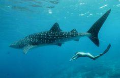 whale shark at ari atoll -maldives