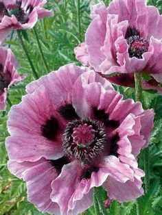 But this pink shows the watercolour effect that True Summer does better than anyone else - Orientalischer Mohn 'Manhattan' - Papaver orientale 'Manhattan' Exotic Flowers, Amazing Flowers, My Flower, Pretty Flowers, Pink Flowers, Flower Power, Poppy Flowers, Pink Poppies, Cactus Flower