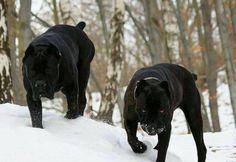 54 Best Madrai Images Dogs Rough Collie Sheltie