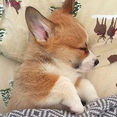 ✔ Cute Dogs And Puppies Corgi Baby Corgi, Cute Corgi Puppy, Welsh Corgi Puppies, Cute Dogs And Puppies, Baby Puppies, Funny Puppies, Puppies Puppies, Small Puppies, Funny Dogs