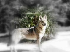 Venez rencontrer des races de chien que vous connaissez peu: Le mystérieux chien loup Tchécoslovaque, ou chien loup tchèque, dit aussi CLT, le très prisé, mais difficile Shiba-inu, le chien de famille idéal: le  Berger d'Islande, le coquin petit Spitz  , les classiques Caniche et Yorkshire.