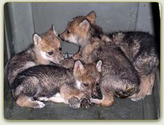 Captive Pups.  Learn how captive breeding is helping save the Mexican gray wolf. http://www.mexicanwolves.org/index.php/captive-breeding