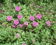 Picture of a purple verbena plants. Because of their trailing habit, verbena plants are commonly used in hanging flower baskets.