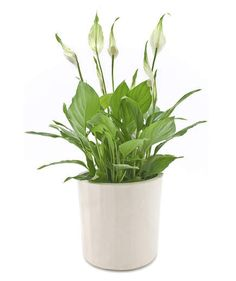 Peace Lily (Spathiphyllum spp.)   Fill your workspace with some greenery—it might make your workday better. Christopher Satch, The Sill's in-house plant expert, shares the best office plants that can withstand limited sunlight, freezing temps (thanks to that overzealous office AC), and little water.