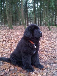 My Boeddhy Newfoundland Dogs, Gentle Giant, Happy Life, Soda, Pup, Kittens, Dreams, Persian Language, Doggies