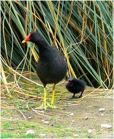 "Moorhen (Gallinula chloropus), also known as the ""swamp chicken"", waterhoen"
