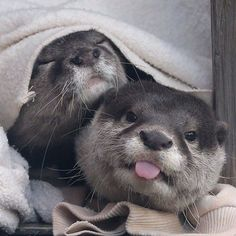 Otter doesn't care if you've just caught him and his friend after they've had a cheeky afternoon snooze… Otters Cute, Baby Otters, Cute Baby Animals, Animals And Pets, Funny Animals, Wild Animals, Otter Love, Tier Fotos, My Spirit Animal