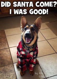 Little shepherd was a good boy, Santa! GSD
