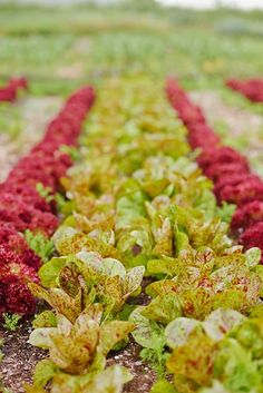Buy Flowers Online Same Day Delivery Row A Tasty Culinary Garden With Tips From The Head Gardener Of The Legendary French Laundry Restaurant Shared In The Early Spring Issue Of Garden Design Magazine. Photograph By: Meg Smith. Leafy Plants, Big Plants, Fall Plants, Garden Design Magazine, Herb Garden Design, Organic Gardening, Gardening Tips, Vegetable Gardening, Buy Flowers Online