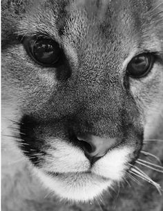 Mountain lion Black and white