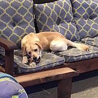 Brattleboro, Vermont - Labrador Retriever. Meet Harlow, a for adoption. https://www.adoptapet.com/pet/20343812-brattleboro-vermont-labrador-retriever-mix