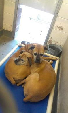 For Animals. Albuquerque, New Mexico. Owner went to nursing home, these boxer sisters need rescue or adoption.  8920 Lomas NE, Albuquerque, NM 87112 Telephone: (505) 768-1975 Office Hours: Tuesday through Sunday 9:30 a.m. to 6:pm  Original thread: https://www.facebook.com/photo.php?fbid=362784650508277=a.276413715812038.67230.100003302358134=1