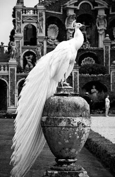 B&W mood.. albino peacock.