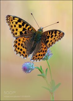 butterfly by amrowetz #nature #photooftheday #amazing #picoftheday