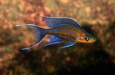 Paracyprichromis nigripinnis Part 1 Cichlid Aquarium, Aquarium Fish, Aquarium Ideas, Tropical Freshwater Fish, Freshwater Aquarium, Tropical Aquarium, Tropical Fish, Lake Tanganyika, Betta Fish
