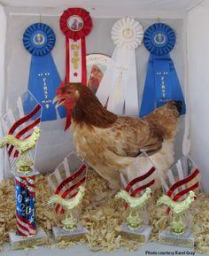 Wheaten Marans Chickens Fancy Chickens, Chickens Backyard, Chicken Breeds, Chicken Coops, Future Farms, Buy Birds, Hug You, Rooster, Winner Winner