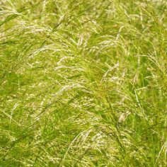 Japanese silver grass (<i>Miscanthus sinensis</i> 'Morning Light') - Best Plants for Rain Gardens - Sunset