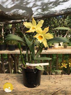 Cattleya Orglade's Chartreuse 'Talisman'