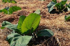 How to plant cabbage in mulched beds.