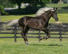 i love the way the rocky mountain horse has a dark body and a light main and tail. ive always wanted a horse like this. and they are known for they're really smooth gait too.