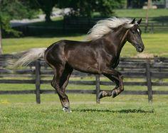 My dream horse...rocky mountain saddle horse!