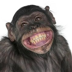 Photographic Print: Close-Up Of Mixed-Breed Monkey Between Chimpanzee And Bonobo Smiling, 8 Years Old by Life on White : 16x16in