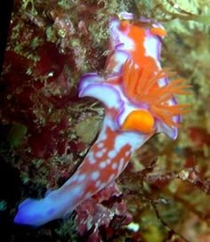 Nudibranch, found in Japan - Ceratosoma bicolor